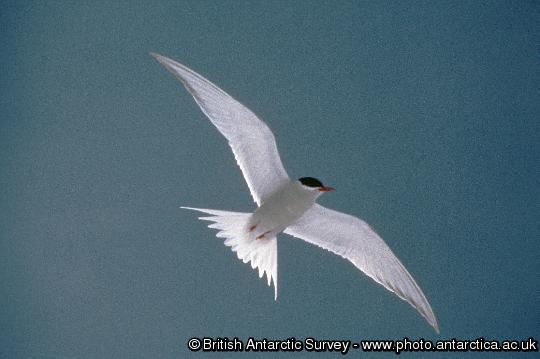 Arctic Tern (Sterna vittata) in flight