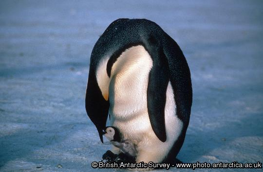 Penguin of the Day - 2013-01-25