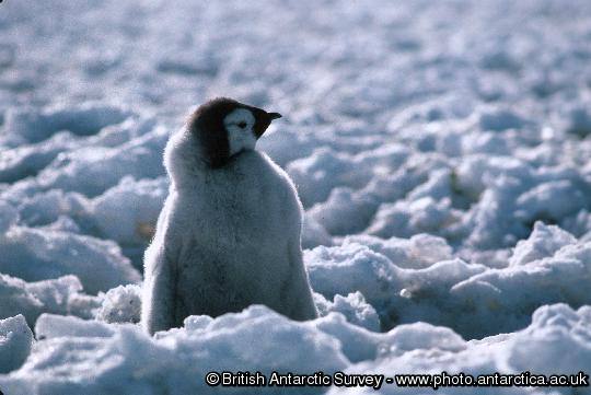 Penguin of the Day - 2013-05-04