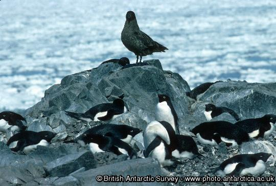 Brown skua and Adelie penguins. Basically fish-eaters brown skuas are also predators and scavengers.