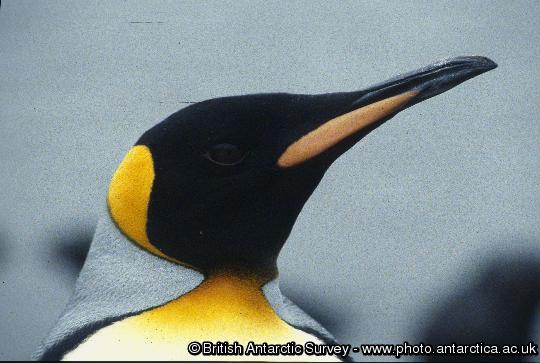 King Penguins (Aptenodytes patagonicus)at King Edward Point, South Georgia.