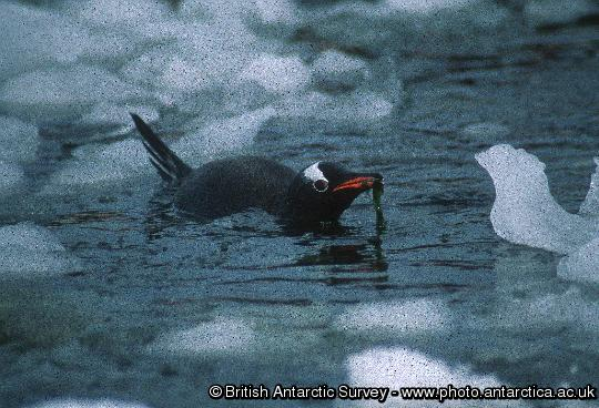 Gentoo Penguin with sea weed in its bill close to Port Lockroy on the Antarctic Peninsula.