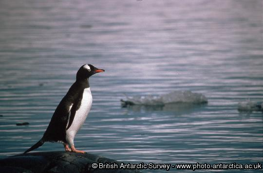 Penguin of the Day - 2013-05-08