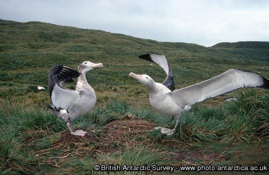 Wandering Albatross pair displaying -  Diomedea exulans