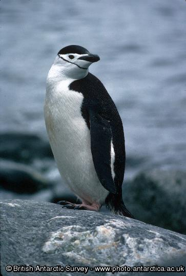 Penguin of the Day - 2013-02-17