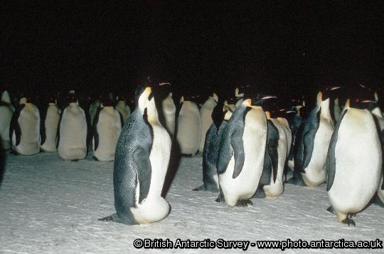 Penguin of the Day - 2012-12-13