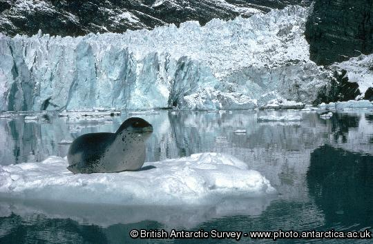 A leopard seal (Hydrurga leptonyx) in characteristic head up posture whilst resting on an ice floe in Moraine Fjord, Cumberland East Bay, South Georgia. These seals are solitary and little is known about their behavior or breeding biology. Despite being regarded as ruthless predators of penguins and other seals the main component of their diet is actually krill.