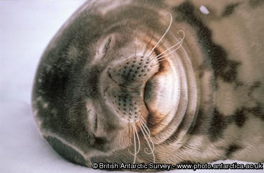 Weddell Seal (Leptonychotes weddellii).  Weddell seals are the most southerly of the Antarctic seals, and are normally found on fast ice within sight of land.