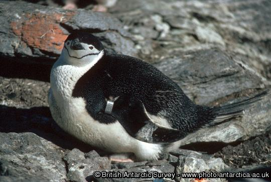 Penguin of the Day - 2013-01-11