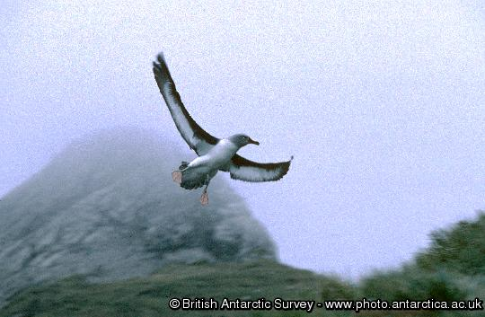 Grey headed albatross (Thalassarche chrysostoma)