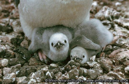 Chinstrap penguin chicks (Pysoscelis antarctica)