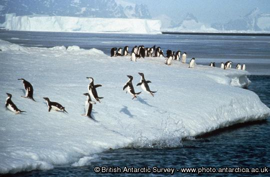 Penguin of the Day - 2013-01-23