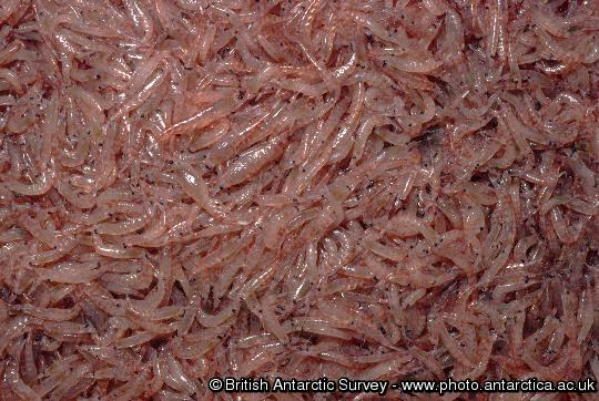 Krill - Euphausia superba.  The catch of a net land off South Georgia: Antarctic Krill, Euphausia superba.
