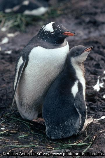 Penguin of the Day - 2013-03-14