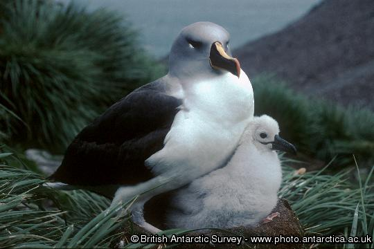Grey-headed Albatross (Thalassarche chrysostoma) and chick on a nest in colony A, Bird Island. The diet of the grey-headed Albatross is mainly squid with a smaller amount of fish.