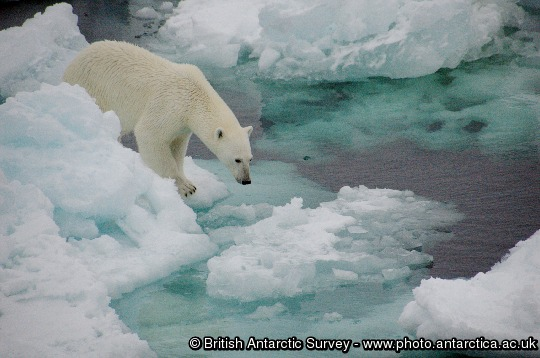 Polar Bear (Ursus maritimus) on sea ice in the Fram Straight 79 degrees north Norwegian Cruise.