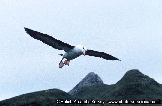 black browed Albatross in flight at Bird Island, South Georgia