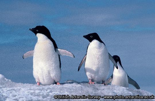 Penguin of the Day - 2013-03-17