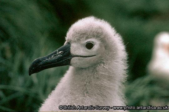 Black-browed Albatross chick (Thalassarche melanophrys)