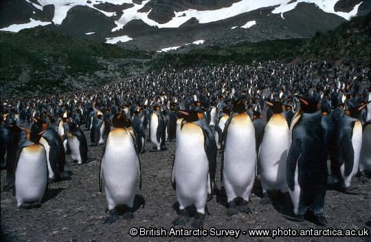 Penguin of the Day - 2013-02-04
