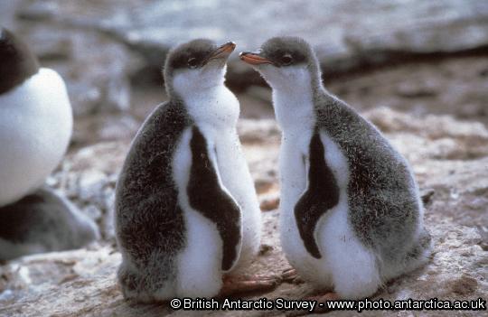 Gentoo Penguin chicks (Pygoscelis papua)