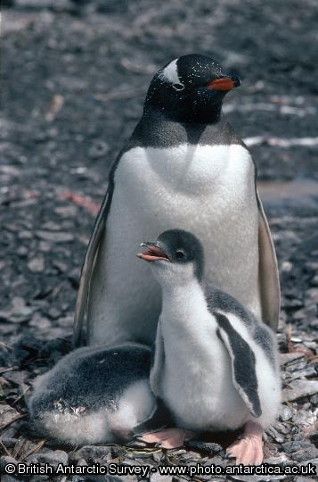 Penguin of the Day - 2012-07-09