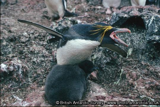 Penguin of the Day - 2013-02-11