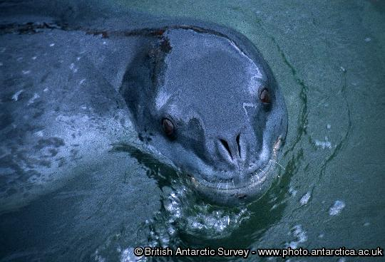 Adult leopard seal (Hydrurga leptonyx) seen at Port Lockroy on the Antarctic Peninsula