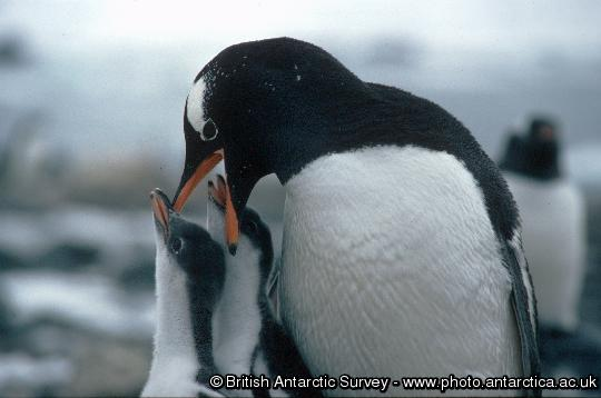 Penguin of the Day - 2013-01-26
