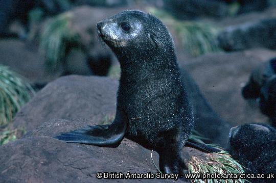 An Antarctic fur seal pup, the individual is moulting its black coat, the silvering around the eye is the new adult fur showing through.