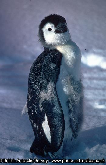 Penguin of the Day - 2013-08-20
