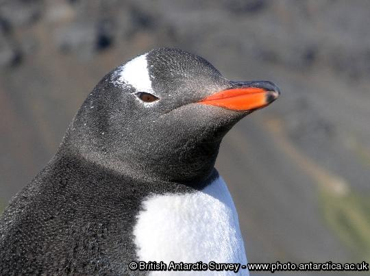 Penguin of the Day - 2013-02-05