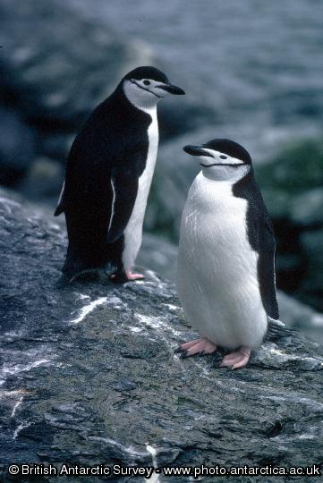 Penguin of the Day - 2012-12-01