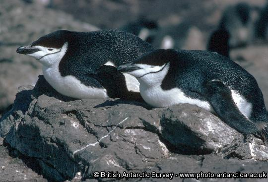 Chinstrap Penguin (Pygoscelis antarctica) showing it's distinctive chin strap marking - It is easy to see where this species gets its name.