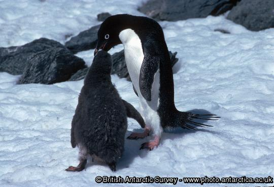 Adelie Penguin feeding chick (Pygoscelis adeliae). Adult feeding an older chick (probably about 1 month old).