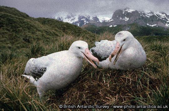 wandering Albatross nest building shortly after returning to the nest    Wandering Albatross Nest