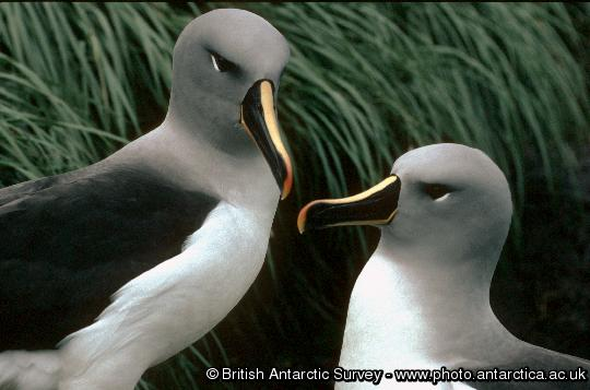 Pair of Grey-headed Albatrosses (Thalassarche chrysostoma) in colony A, Bird Island