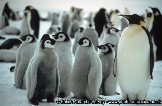 Penguin of the Day - 2013-01-13
