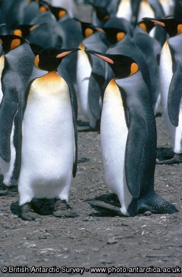 Penguin of the Day - 2012-11-23