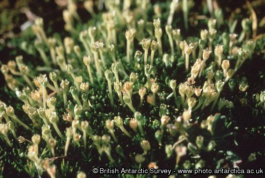 Antarctic pearlwort, Colobanthus quitensis , with very long flower stalks