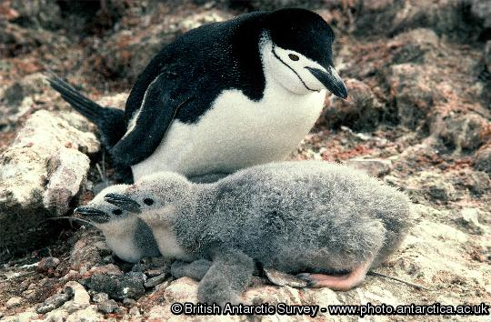 Penguin of the Day - 2013-03-18