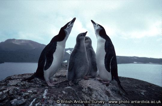 Chinstrap penguins (Pygoscelis antarctica) and chicks on Candlemas Island, South Sandwich Islands, Lucifer Hill Volcano in background.