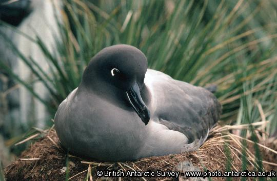 Light-Mantled Sooty Albatross (Phoebetria palpebrata) on a nest overlooking Johnson Cove at the end of Molly Ridge, Bird Island, South Georgia