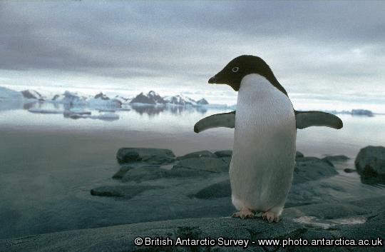 An Adelie penguin on Rothera Point, Adelaide Island, Antarctica