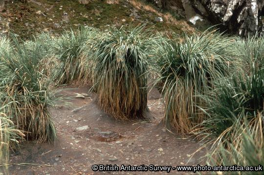 Tussock grass ( Parodiochloa flabellata) stools eroded by elephant seal activity