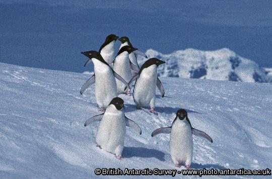 Adelie penguins on Rothera Point, Adelaide Island, Antarctica.