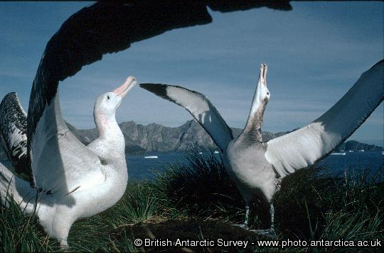 A pair of Wandering albatrosses displaying during a courtship ritual at a study site on Bird Island, South Georgia.  British Antarctic Survey scientists have confirmed a steady decline in the albatross population on Bird Island, probably as a result of drowning when their beaks catch on baited fish hooks.