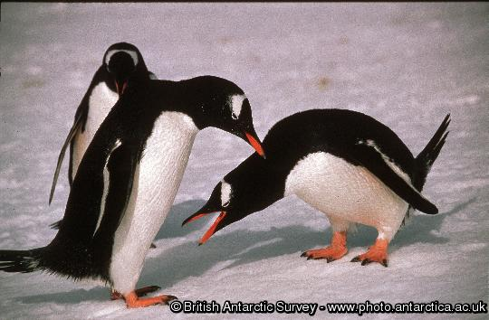 Gentoo Penguin (Pygoscelis papua) pair courtship display