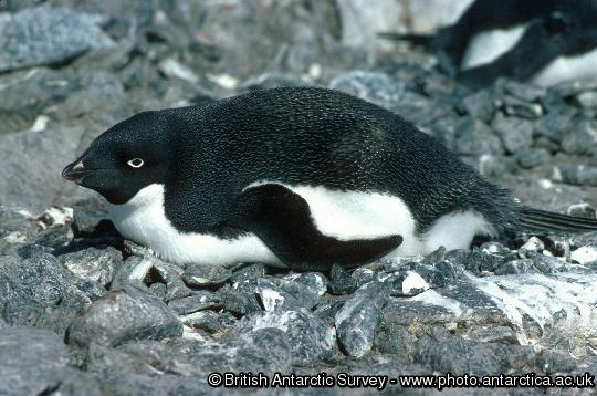 Adelie Penguin (Pygoscelis adeliae) on nest, probably incubating