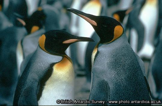 Penguin of the Day - 2014-10-24